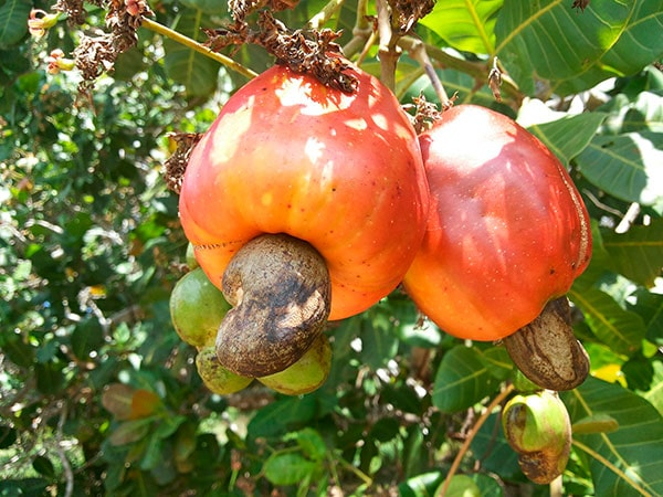 anacardo-dia-frutos-secos-calconut-comprar-online